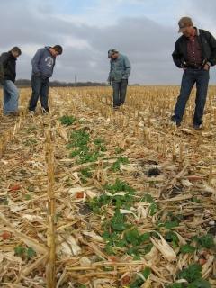 cover_crop_in_corn_narrow
